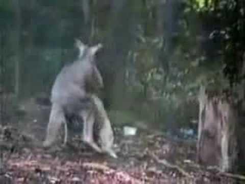 Kangaroo vs. Goose