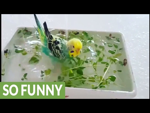 Parakeet receives royal treatment for bath time