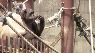 Download Video チンパンジー 双子の赤ちゃん 78 Chimpanzee twin baby MP3 3GP MP4