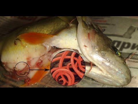 Паразиты, обитающие рыбе. Опасность для человека