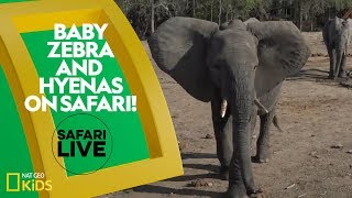 Baby Zebra and Hyenas on Safari! | Safari Live