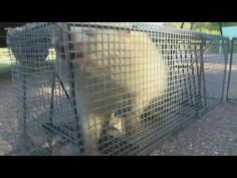The Woody Show - Raccoon News! Albino Raccoon Trapped in Tennessee