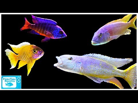 So Many COOL CICHLIDS In One Place: Something Fishy Fish Store Tour!
