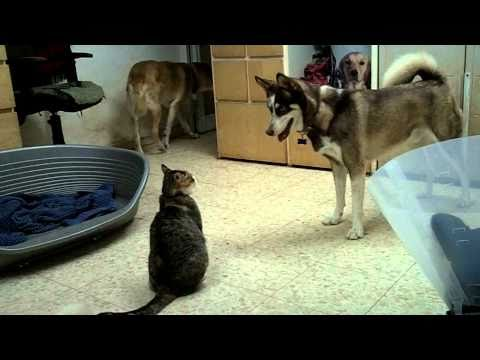 Husky vs. Cat