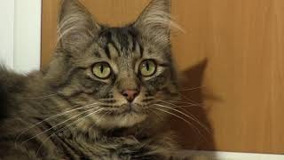 Cat listening to old country music version 2