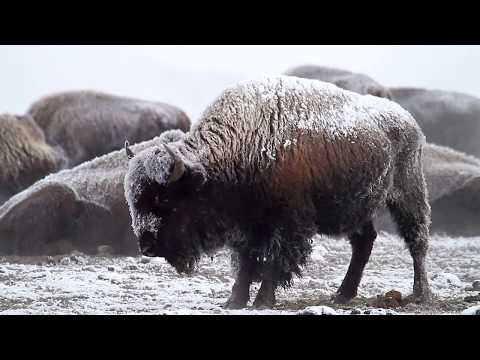 Yellowstone Bison in Winter - Free Roaming Photography
