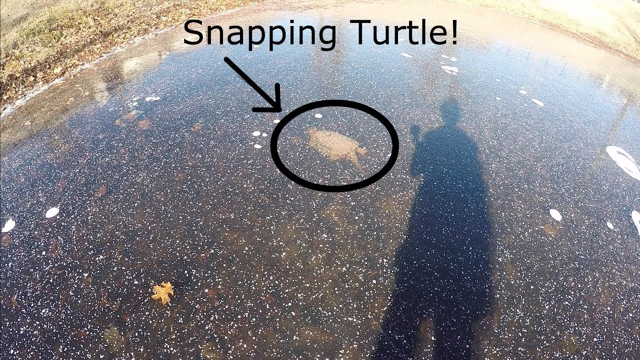 Do Snapping Turtles Hibernate In The Winter? They brumate instead