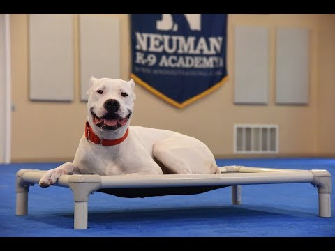 Deedee (Dogo Argentino) Boot Camp Dog Training Video Demonstration