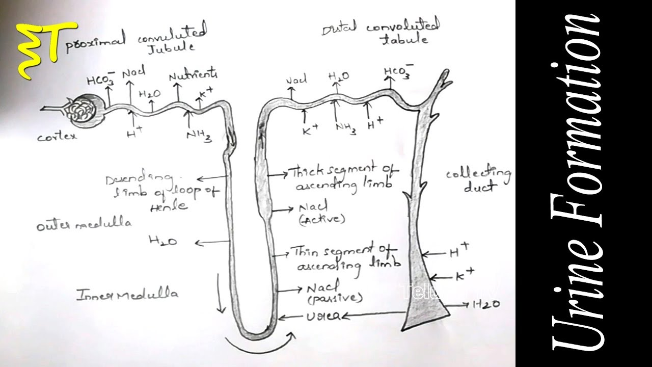 important drawings for inter exams zoology drawings how to draw a urine formation telugu tv [ 1280 x 720 Pixel ]