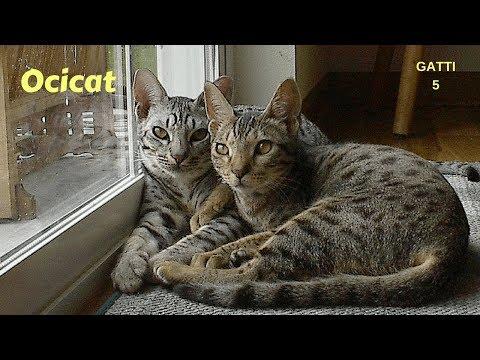 Gatti 5 - OCICAT