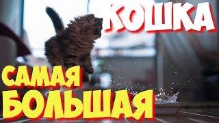 Какая самая большая в мире кошка? | САМЫЕ САМЫЕ большие кошки мира