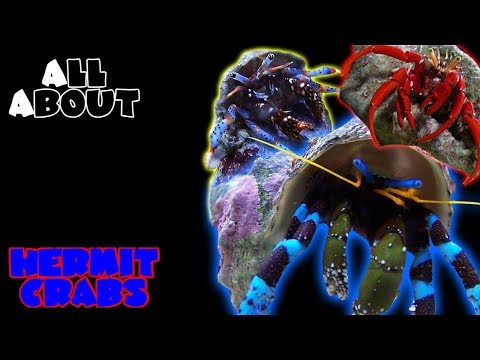 All About The Hermit Crabs | Blue Legs, Red Tips, Electric Blues, Halloween
