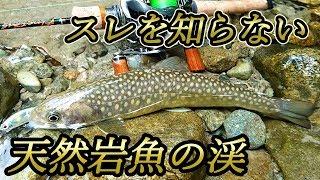 【前編】天然岩魚の乱舞『スレを知らない岩魚たち 』