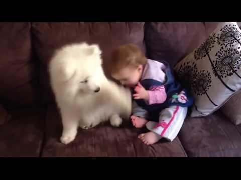 ☆ 애교 100단 사모예드 심쿵 영상 모음 ★ Samoyed