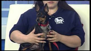 Pet Of The Week: Miniature Pinscher Named Lady Cougar