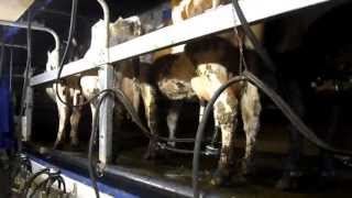 traite des vaches  laitières  2013