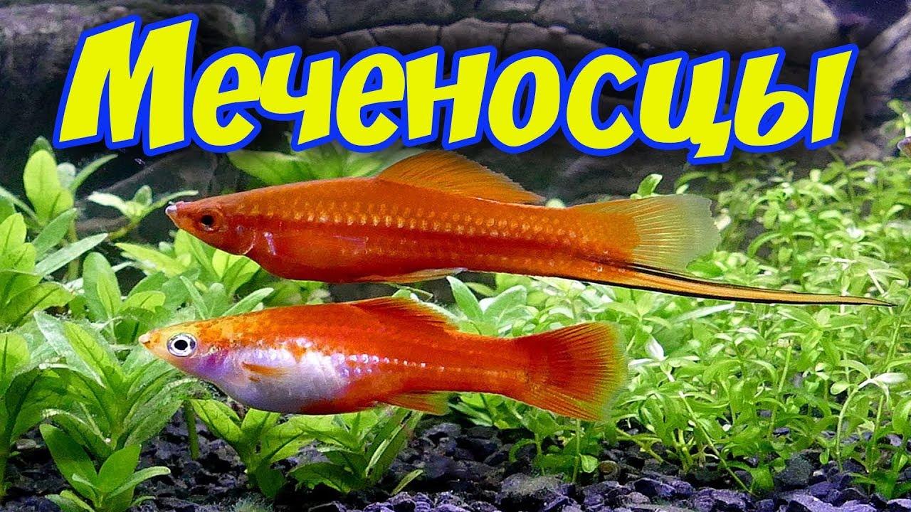 меченосцы содержание в аквариуме