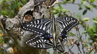 自宅の裏庭でアゲハ蝶が2蝶くっついて、見ていたら、あ〜ら不思議何蝶か...