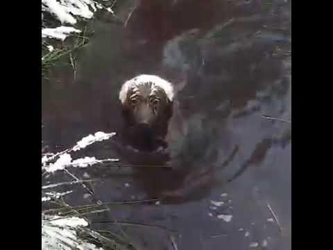 Perro nadador de lodo