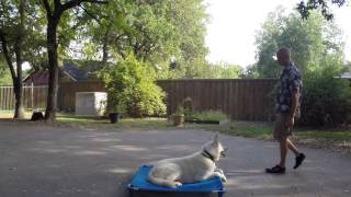 Buddy German Shepherd | Redeeming Dogs Training | Fort Worth Dog Training