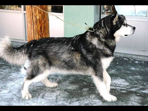 Alusky dog –Siberian Husky & the Alaskan Malamute Mix