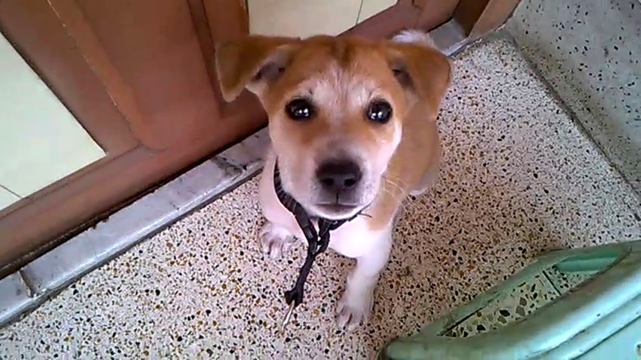 Indian Pariah Puppy Indog 2 Month Old Very Cute Youtube