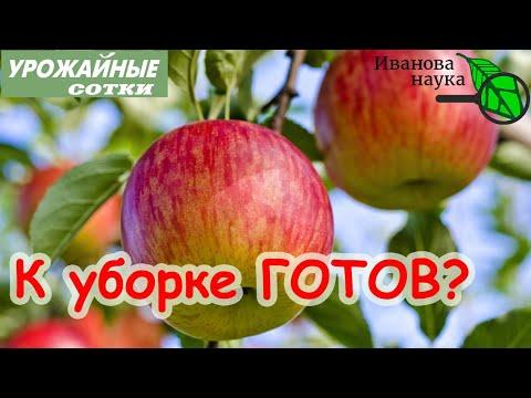 ЛУЧШИЙ СПОСОБ определить срок уборки яблок. ТОЛЬКО ТАК ЯБЛОКИ СОХРАНЯТСЯ ВСЮ ЗИМУ!