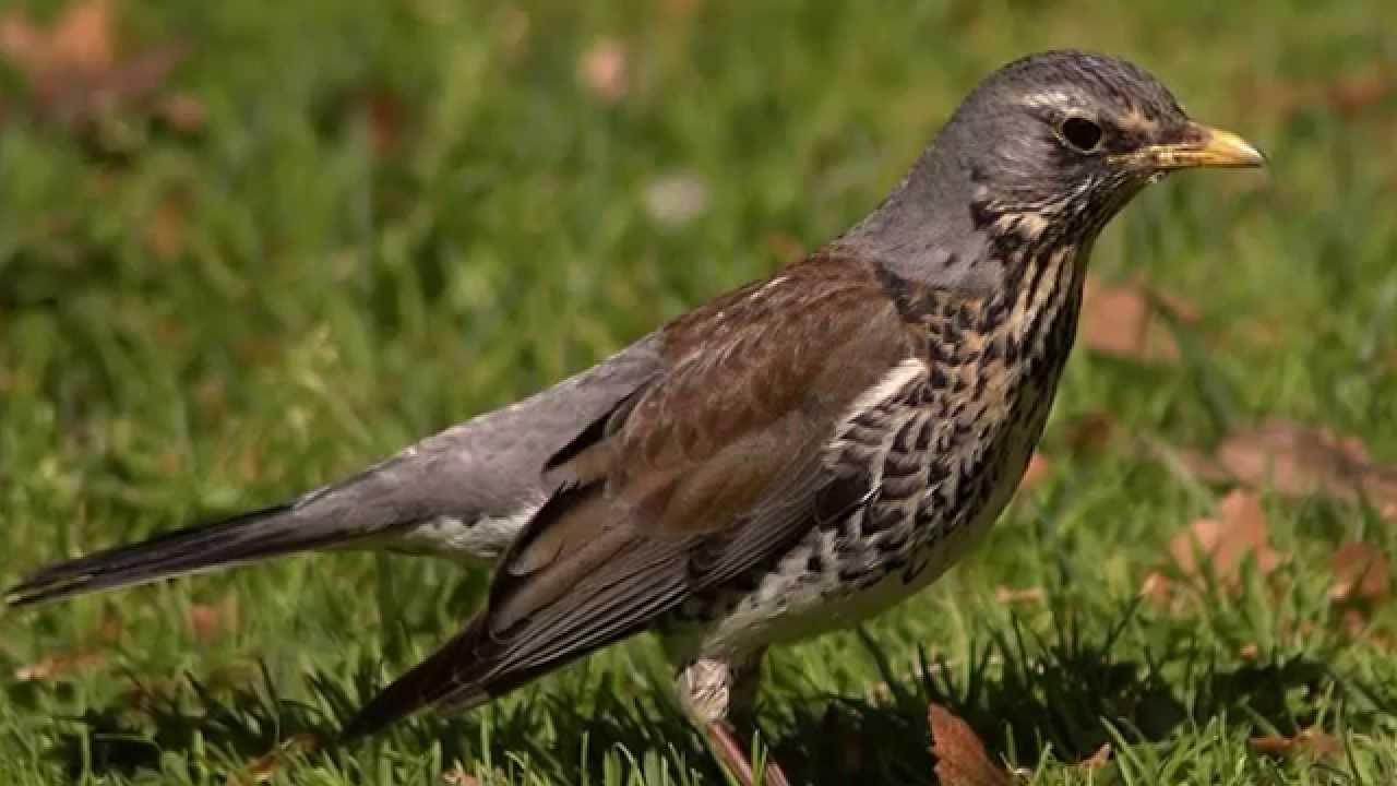 Звуки природы! Дрозд белобровик. Красивое пение птиц - Голоса птиц