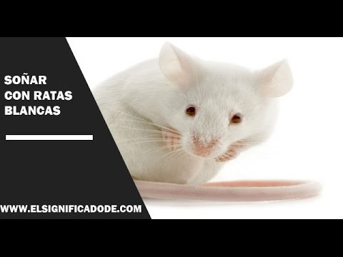 significado-de-soñar-con-ratas-blancas|-¿qué-significa-soñar-con-ratas-blancas?