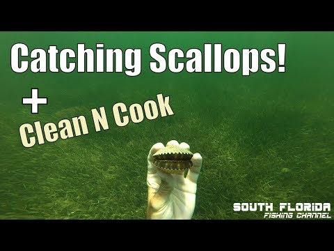 Florida Gulf Bay Scallops | Catch Clean Cook