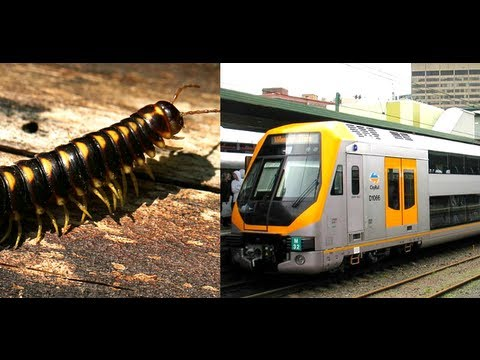 Millions of Portuguese millipedes suspected to cause Perth train crash in  Australia