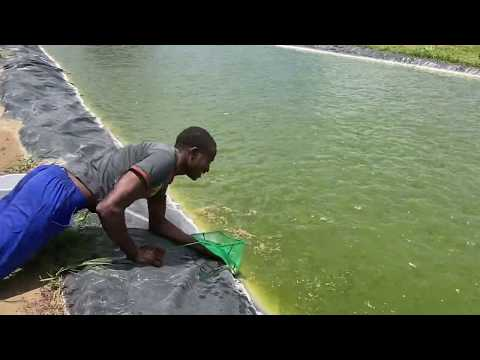 HOW TO FIND AVERAGE BODY WEIGHT OF FISH IN THE POND THE FUN WAY | TILAPIA FARMING IN ZAMBIA