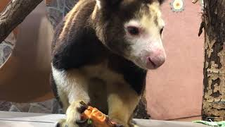 Tristan the Tree Kangaroo Celebrates His 4th Birthday thumbnail