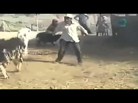 los mexicanos son un desmadre; cabra loca se venga de su dueno