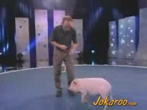 Tresowana świnia