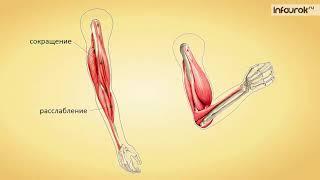 Работа мышц и её регуляция   Биология 8 класс #15   Инфоурок