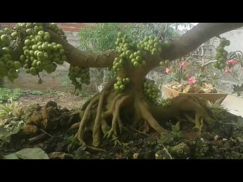 Cay sung bonsai dang dep muon ban