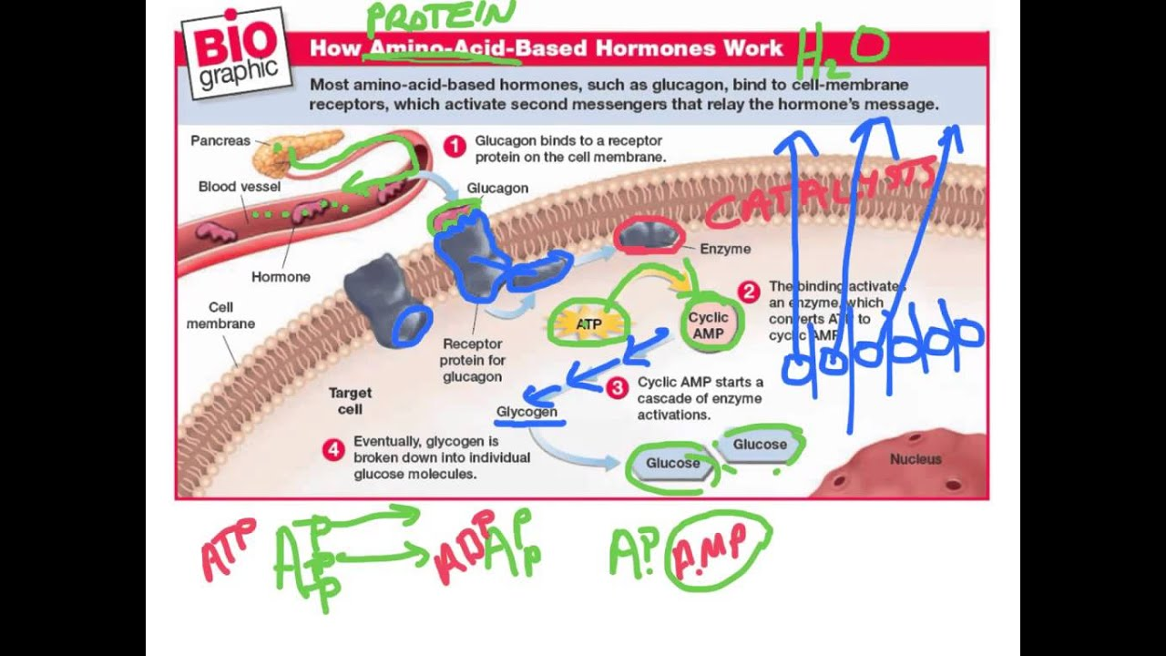how do steroid hormones work on cells