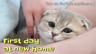 First day of a Scottish Fold kitten at her new home (with captions) | @gobi.scottishfold