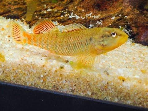 Native Fish Care: Rainbow Darter