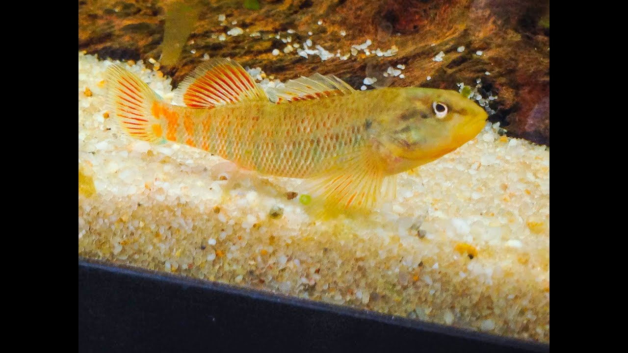 Native Fish Care: Rainbow Darter