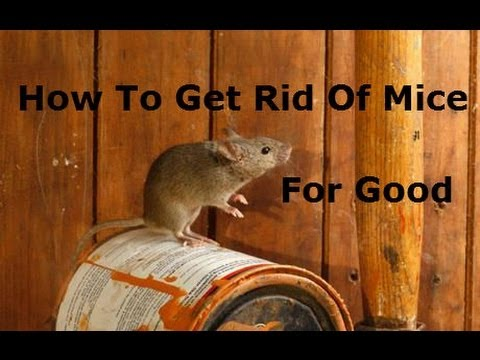 How To Get Rid Of Mice Using Rid O Mice Stainless Weep