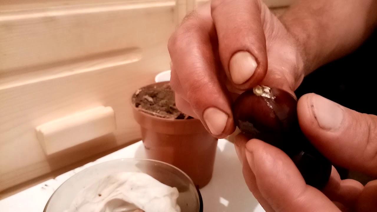 castan de la rețetă varicoză