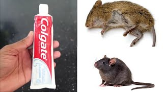 MAGIC COLGATE  || How To Kill Rats Within 10 minutes || Home Remedy || Magic Ingredient | Mr. Maker