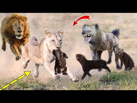 The Power Of King Lion! 4 Lions destroy mother and Hyena cubs within 1 second
