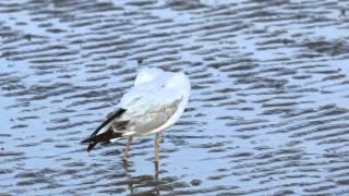 ♪鳥くん野鳥動画(ThaiSlender  bIlled Gullハシボソカモメ1wJO6A3732