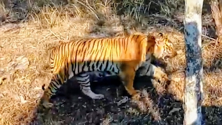 Bandipur Forest ( Prince Tiger encounter)