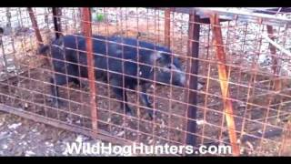 TRAPPING WILD HOGS IN TEXAS - Learn How To Do It!