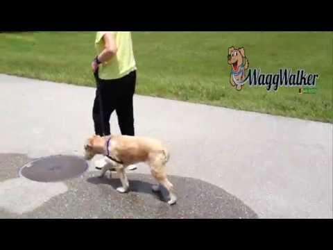 Soft Coated Wheaten NOT Pulling - Dog Training of Fort Myers K9- Patrick Logue