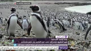 بالفيديو..تجمهر عشرات آلاف البطاريق استعدادا للهجرة
